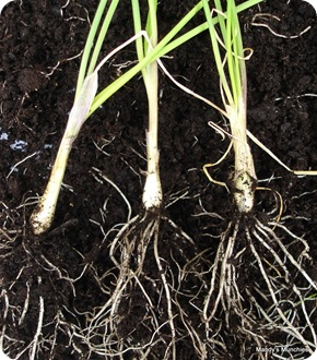 Chives bulbs 15 Aug