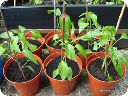 05-06 Chillies all
