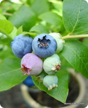 04-07 new blueberry