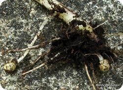 11-07 potato roots