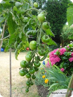 31-07 Tomatoes