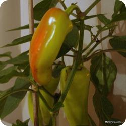28-09 chillies