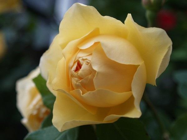 P7042855 Rosa 'Graham Thomas'