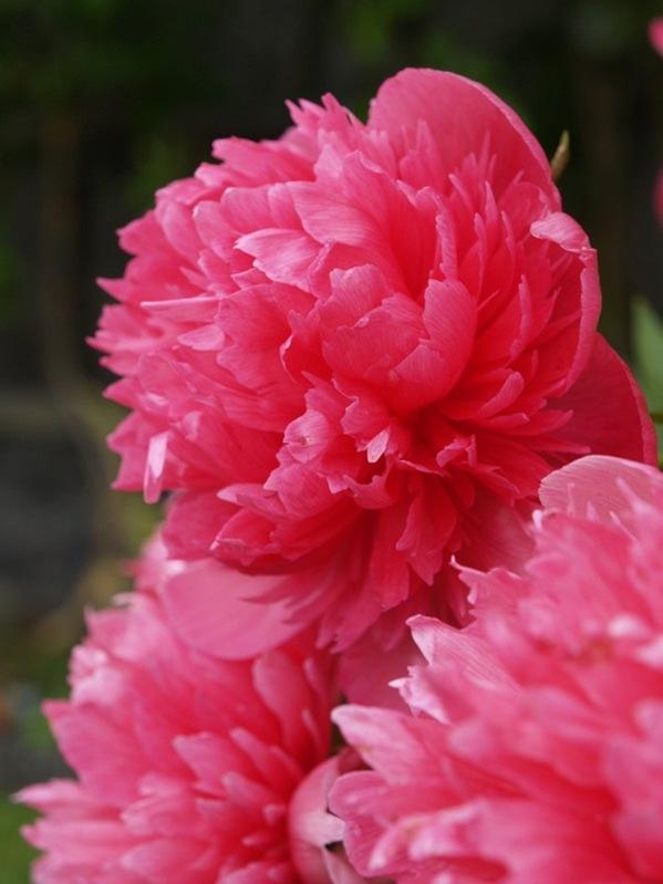 P6182420 Paeonia officinalis