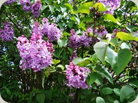 Lilac tree in blossoming