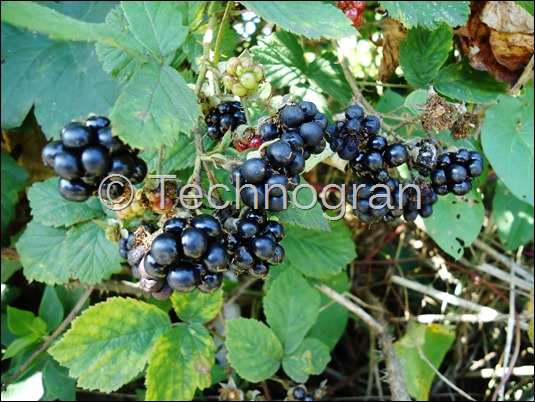 Juicy Blackberries