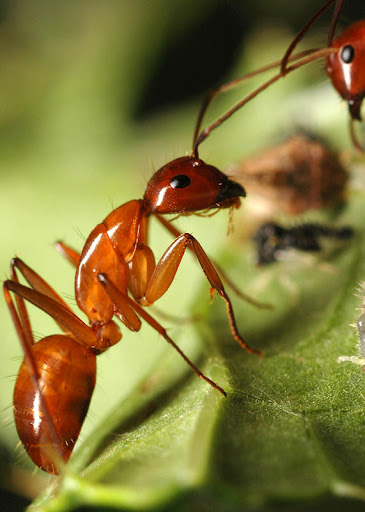 В критических ситуациях, муравей разрезает специальные...