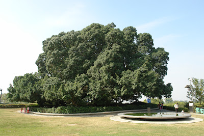 The giant banyan tree in the rest area.