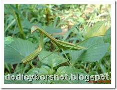one eye praying mantis 05