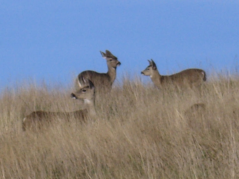 Deer in the meadows