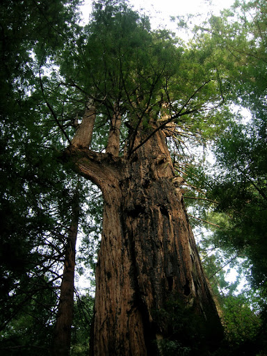 The gigantic redwood on the Tarwater Trail