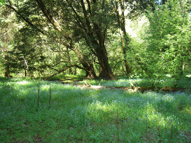Meadows and maple forest along Waddell Creek