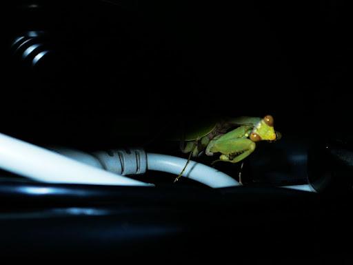 螳螂2.jpg