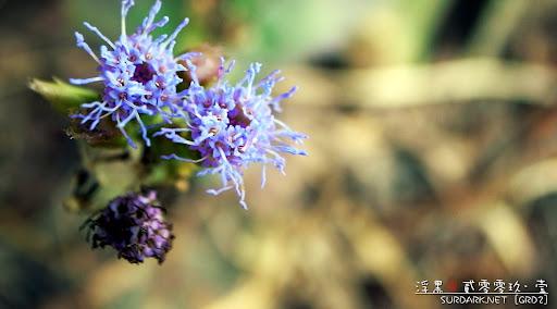 春花之阿紫.jpg