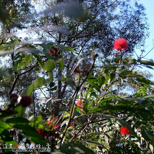 春花之几个红绣球.jpg