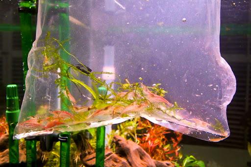 第一批住户,樱花虾。