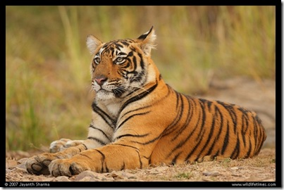 n_young_tiger2