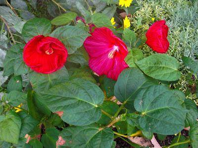 Hibiscus dans Richesse