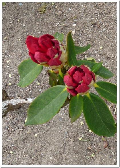 rhodie blossom