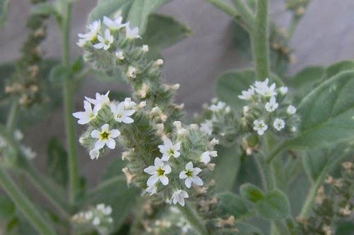 Plants Profile - Heliotropium europaeum L. (Boraginaceae ...