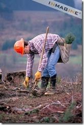 Logger planting trees