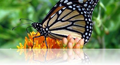 monarca-asclepsia