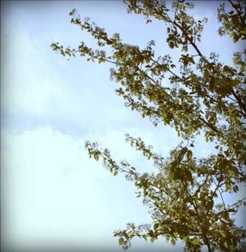 himmelträd-pola