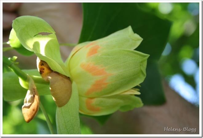 Tulpanträd i blom