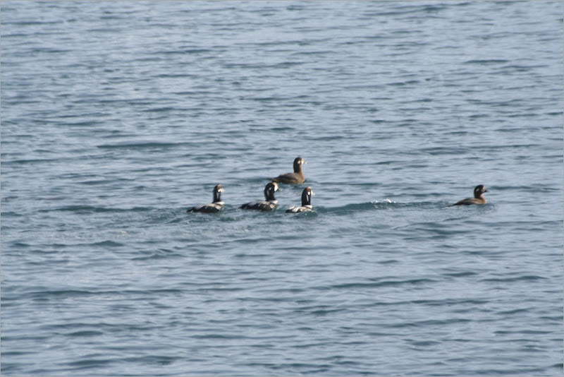 Harlequin Ducks. this was the best I could do...they were very wary of me and kept diving