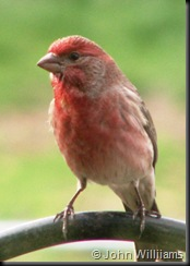 House Finch 2006 Thimbleglen Dr