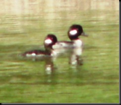 Female Buffleheads, Lake St. Mary area, 22 Apr 06