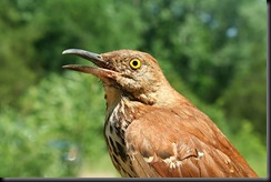Brown Thrasher, 14 June 07, HWBS_filtered