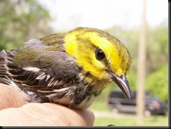 Black-throated Green Warbler, HWBS, 02 May 2006