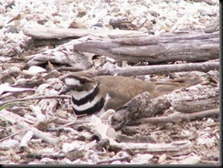 Killdeer, Nesting, Crane Creek, 22 Apr 06-2