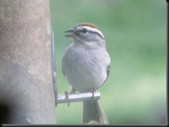 Chipping Sparrow, Home Feeder, Cincinnati Apr 2006