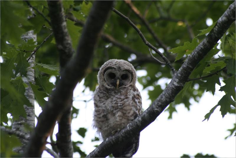 BardOwl_Fledglings-93