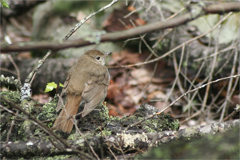 Hermit Thrush, flushed it out while I was out hiking for work.