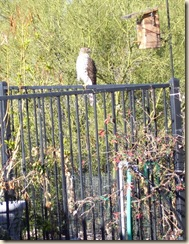 Young hawk 1 2-19-2009 7-03-47 AM 969x1256