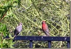 finches 5-25-2009 6-07-13 AM 997x691