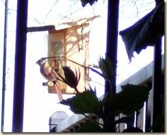 pyrr on feeder 5-25-2009 6-38-09 AM 1345x1083