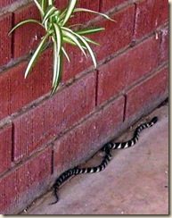 Snake crop