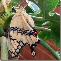 Swallowtail back cu 3-24-2011 1-03-19 PM 1008x992