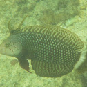 Rockmover Wrasse