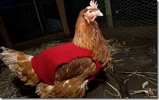 Woolly-chickens_1553738c
