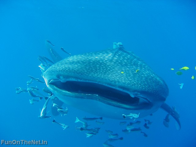 largest whale shark - photo #25