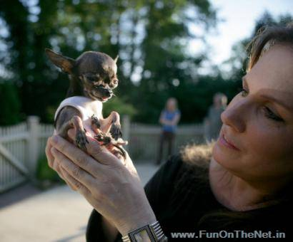 ducky a yappy short coat chihuahua from charlton massachusetts usa holds the guinness world record for the worlds smallest living dog by height