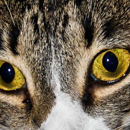 Look Into My Eyes by Brenda Hooper - Animals - Cats Portraits ( cat, portrait, eyes, animal,  )