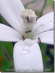 kembang putih 1887