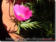 Portulaca grandiflora Hook 4544