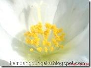 Portulaca grandiflora Hook 3780
